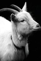 Goat Keeping