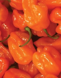 Spicy Habanero, Jumbo Oversized