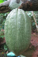 Cacao Seeds Journal