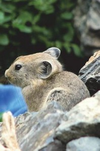 The Pika Journal