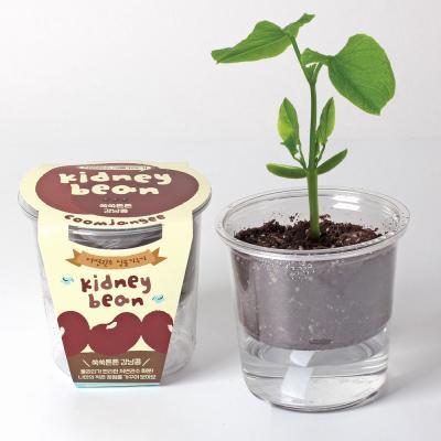[꿈쟁이] 저면관수 식물키우기 - 쑥쑥튼튼 강낭콩