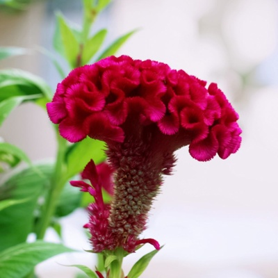 꽃씨앗 정원 야생화 꽃씨 종자 맨드라미 씨앗 1000립