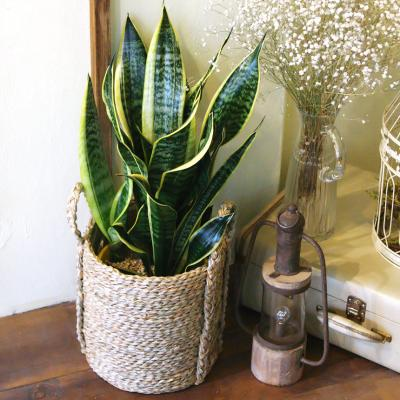 산세베리아 중형 라탄바구니 세트 공기정화식물