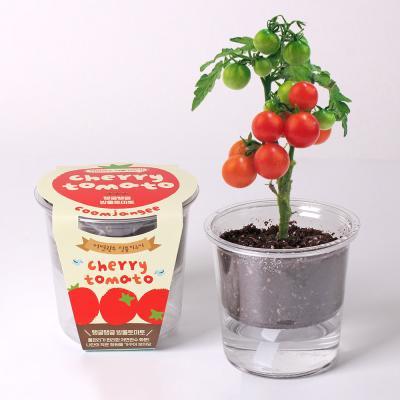 [꿈쟁이] 저면관수 식물키우기 - 탱글탱글 방울토마토